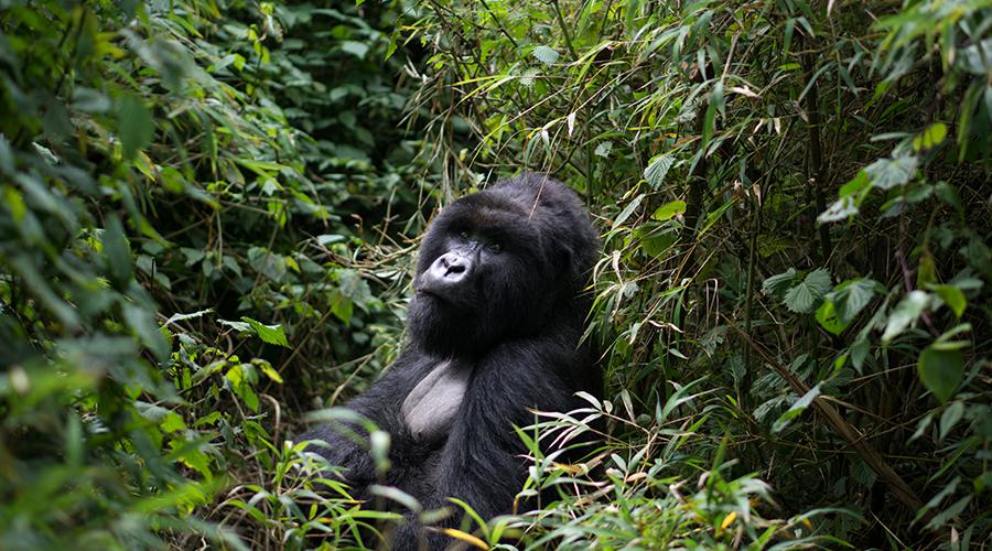 A gorilla in Rwanda national park - incredible - Rwanda