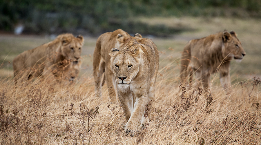 A view of lions in Akagera park a tour with incredible Rwanda