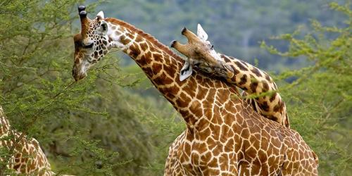 A set of giraffe in Akagera national park - in incredible Rwanda